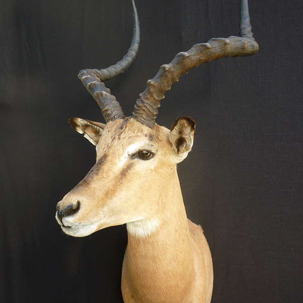African Safari Taxidermy Experts At Vanmar Taxidermy
