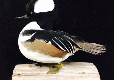 Hooded Merganser by Vanmar Taxidermy