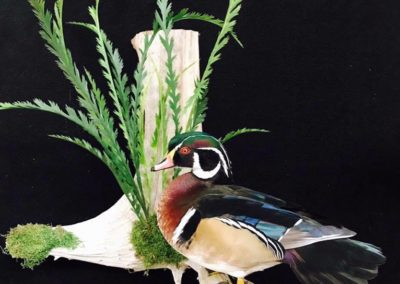 Wood Duck by Vanmar Taxidermy