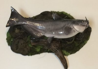Catfish-VanmarTaxidermy