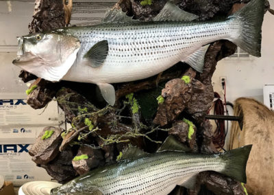 Stripers-VanmarTaxidermy